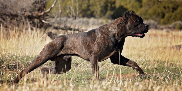 Castleguard Cane Corso Italiano Breeder With Puppies In Co Show